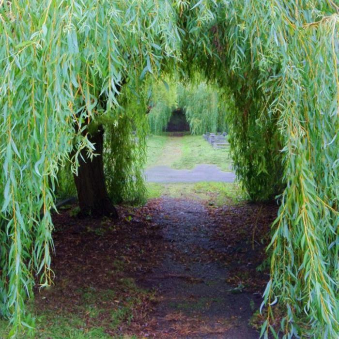 TEMPSA 100 Pcs Graines saule jardin maison arbre