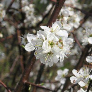 ARBRE - BUISSON Prunier myrobolan (Prunus cerasifera-myrobolana) J