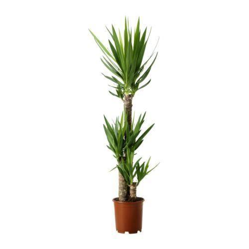Yucca 3 pieds 80-100 cm