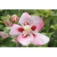 Hibiscus rose coeur rouge greffé SYRIACUS 30-50cm