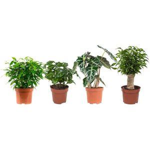 PLANTE POUSSÉE Ficus, Alcosia,Arabica,Beaucarena | 4 plantes | pl