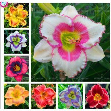 TEMPSA 50 Pcs Graines hémérocalle fauve daylily jardin extérieur