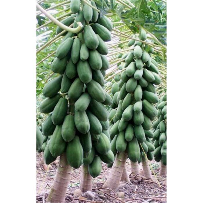 Version Kaki foncé - Vente 20 Pièces Grande Papaye Succulente Plante Rare Arbre Fruitier Vivace Bricolage Maison Jardin De Haute