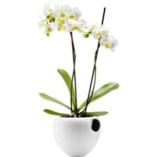 Arrosage orchidée en pot