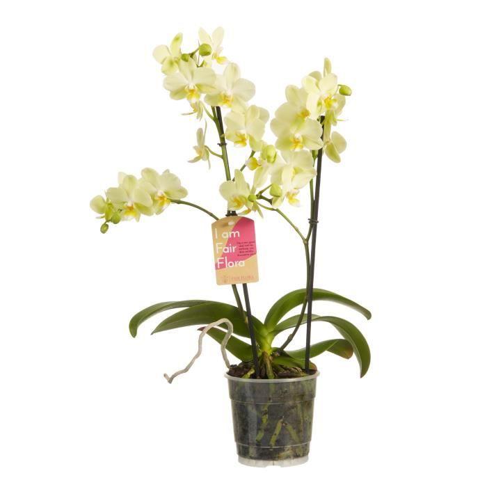 Orchidée de Botanicly – Orchidée papillon – Hauteur: 50 cm, 2 pousses – Phalaenopsis multiflora plante naturelle
