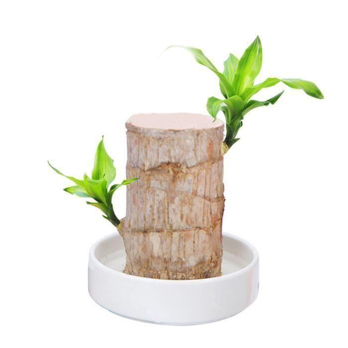 Plante poussée en pot hydroponique d 'intérieur Badan Brésil Chanceux Décoration de bureau de bureau intérieur 5-6cm