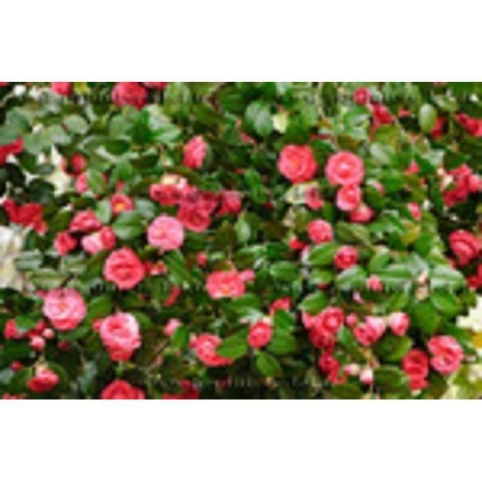 CAMÉLIA ROUGE - CAMELLIA JAPONICA KRAMER'S SUPREME – floraison abondante - feuillage persistant