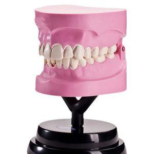 EXPÉRIENCE SCIENTIFIQUE Splicable Dentaire Modèle de démonstration pour en