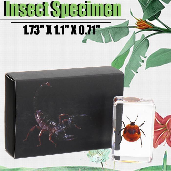 PUNAISE - ÉPINGLE Spécimen Insectes Scorpions Artisanat Science Joue