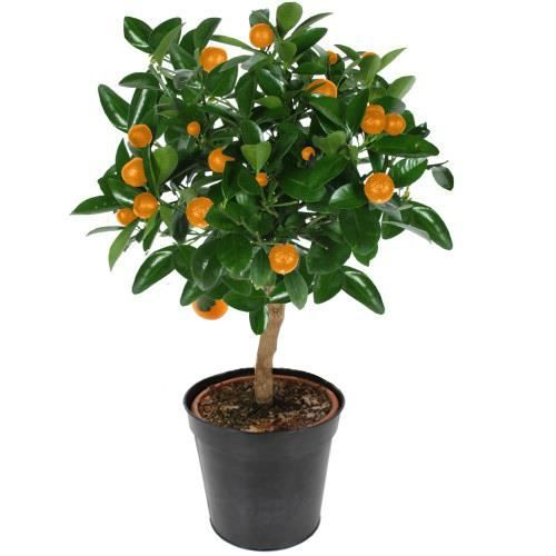 ORANGER TIGE 60 CM, Citrus Sinensis