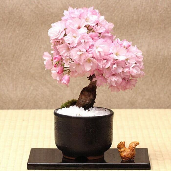 Version Bourgogne - Bonsaï Arbre Japonais Sakura Plante Rare Cerisier Fleurs En Rose Prunus Serrulata 10 Pcs-Paquet #49 #44