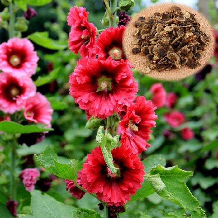 100Pièces graines Double Rose Trémière Fleur Bonsaï Mélangé Vivace Jardin Décoration Rare graines