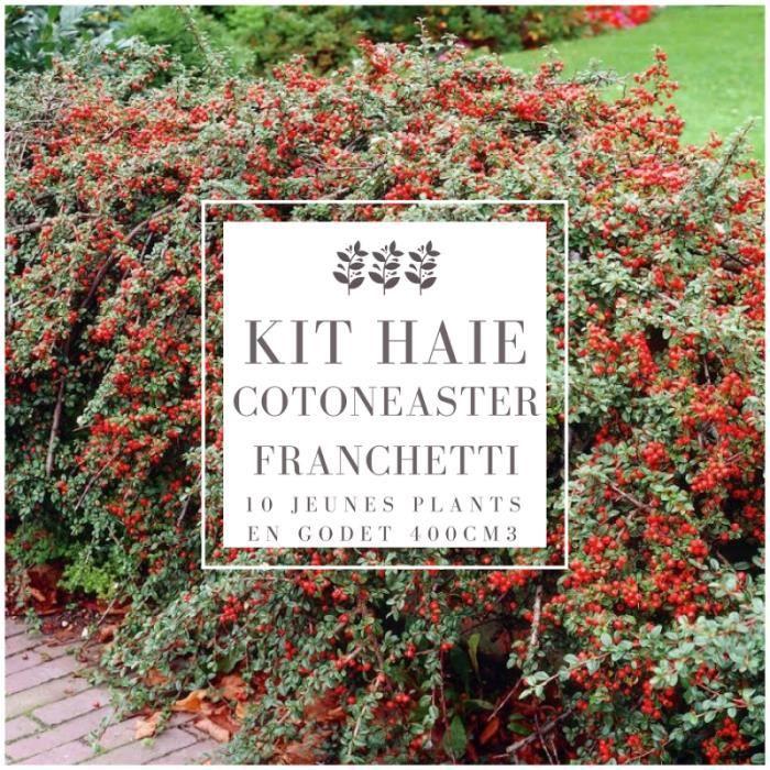 Kit Haie Cotoneaster (Cotoneaster Franchetti) - Haie en Kit - 10 Jeunes Plants