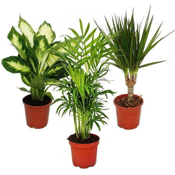 Exotenherz - Plante d'intérieur Mix II, ensemble de 3, 1x Dieffenbachia, 1x Chamaedorea (palmier des montagnes) 1x Dracena marginata