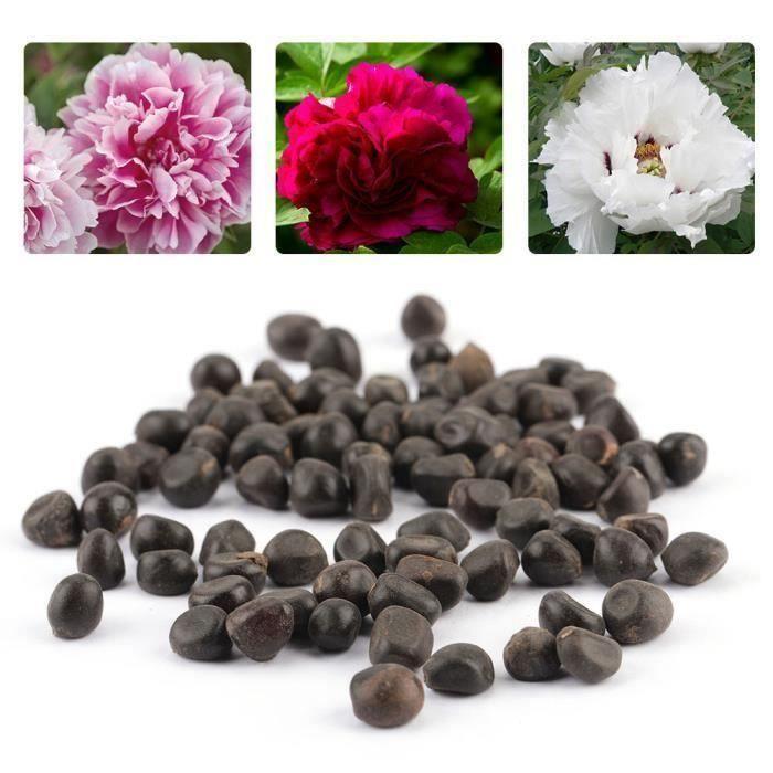 Graine semence 120 pcs Chine pivoine graines Paeonia Suffruticosa fleur arbre plante-RAC