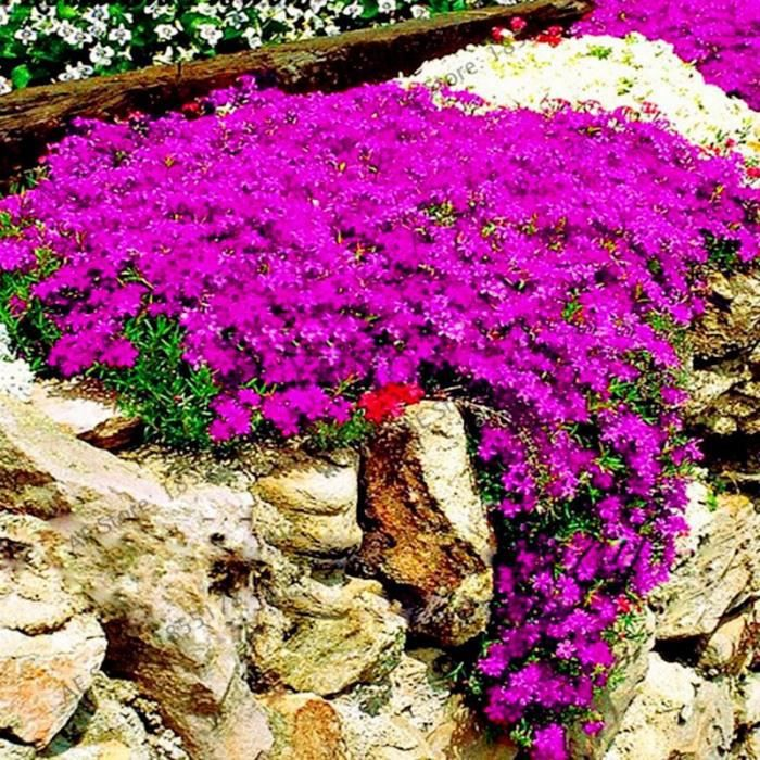 Version 7 - Grande Vente 0 Pièces Rare Roche Cress Bonsaï Escalade Plante Rampante Thym Flores Vivace Couvre-Sol Fleur Pour Maison