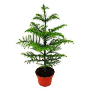 PLANTE POUSSÉE Sapin de chambre - Araucaria heterophylla - pot de