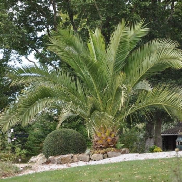 Palmier des Canaries(Phoenix canariensis)-Plant en pot de 1,5 litre-Hauteur du plant: 30/40cm-Croissance rapide-Hauteur adulte 20 m-