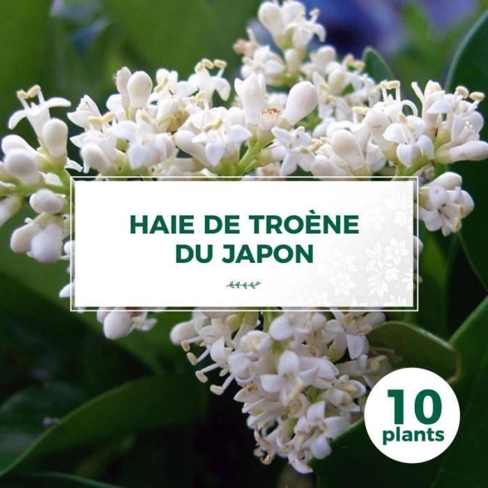 10 Troène Du Japon (Ligustrum Japonicum) - Haie de Troène Du Japon 10 jeunes plants : taille 20-40cm Blanc
