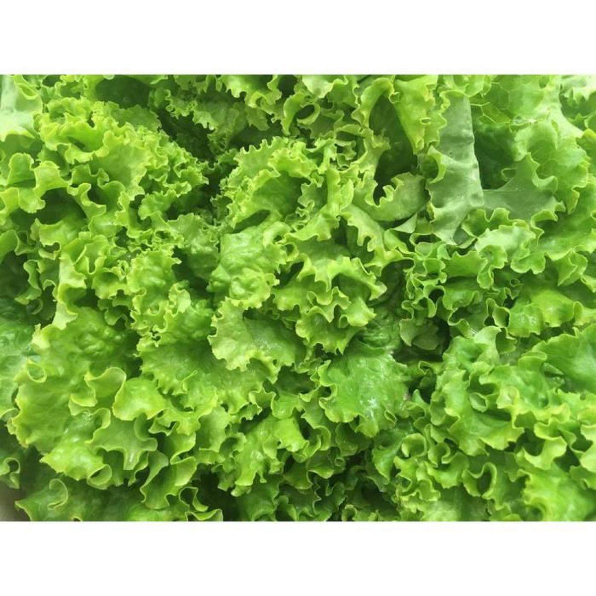 60 Graines de Laitue Pommée Méthode BIO seed plante salade légume ancien potager