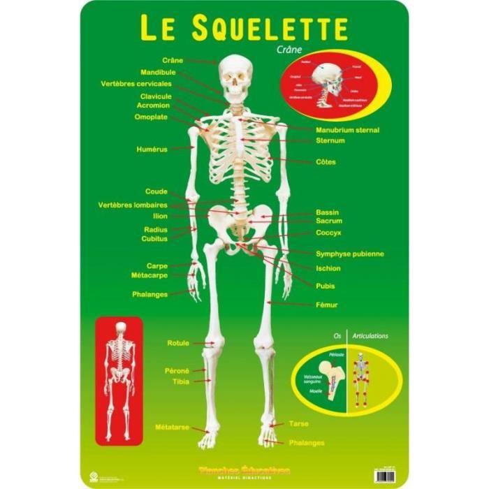 Planches Educatives Le Squelette Humain