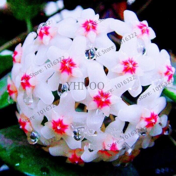 Version 19 - Couleur Hoya Fleur Fleurs Rare Plante Vivace Carnosa Bonsaï Plantas Pot Pour Maison Jardin 0 Pièces #71 #68