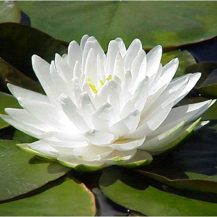 lot de 5 graines fleur de nenuphar coloris blanche coeur jaune plante de bassin aquatique
