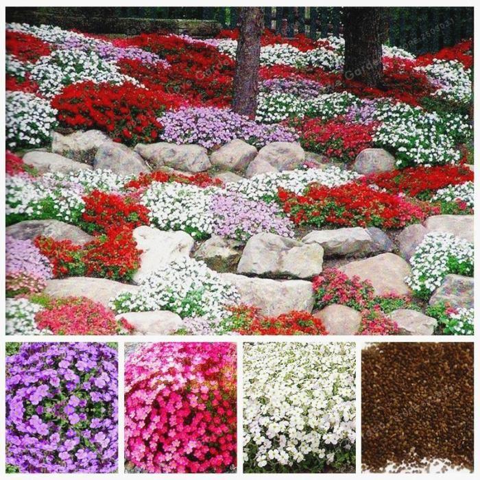 Version MIX - 00 Pièces Rare Roche Cress Bonsaï Plante Grimpante Rampante Thym Vivace Couvre-Sol Fleur Pour Maison Jardin #90 #15