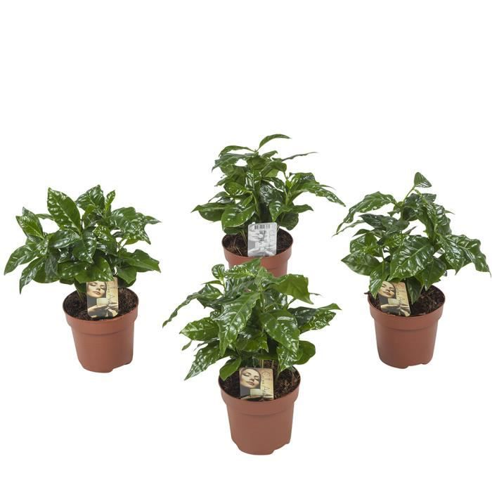 Lot de 4 Plante café Coffea Arabica 25 cm