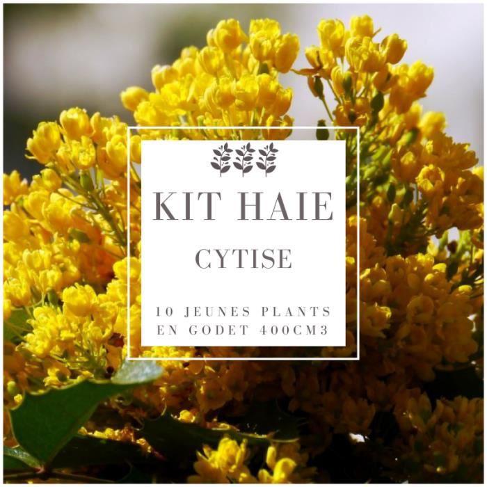 Kit Haie Cytise (Laburnum Anagyroides) - Haie en Kit - 10 Jeunes Plants