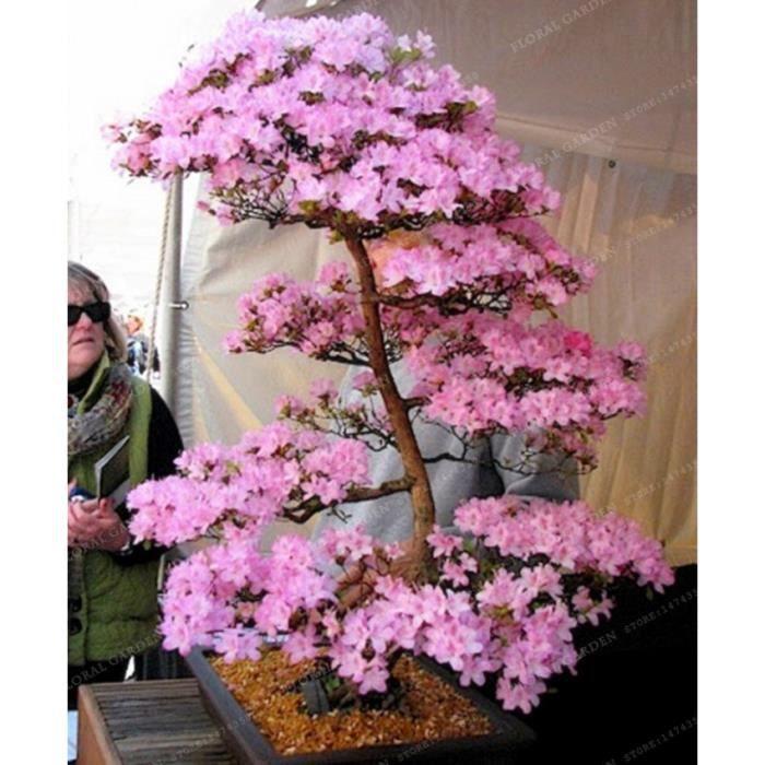 Version 2 - Bonsaï Japonais Sakura Plante Rare Cerisier Fleurs En Bonsaï, Rose Prunus Serrulata Pcs-Paquet #69 #97
