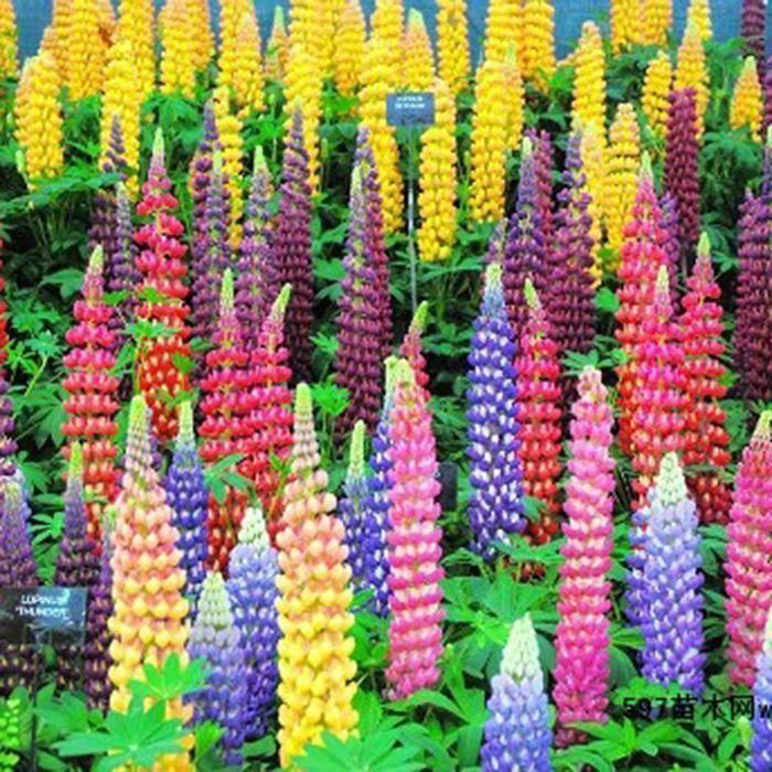 Graines de Lupin Graines De Fleurs Maison Jardin Bonsaï Graines 50 Pcs