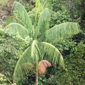 Palmiers-graines les bananes Palme sera un beau géant dans votre jardin!