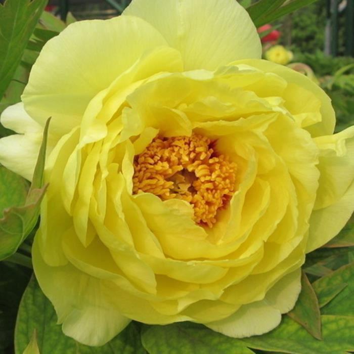 bodhi Jaune Pivoine Graines 10 Pcs Été Floraison Pivoine Fleur Graines Plantes Vivaces Décor À La Maison De Jardin